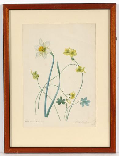 "Franz Xaver GRUBER - Zeichnung Aquarell - Franz Xaver Gruber (1801-1862) ""Oxalis Cernua"""