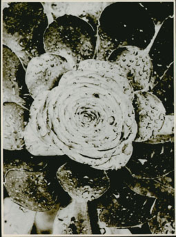 Albert RENGER-PATZSCH - Fotografia - Crassulaceae, Aeonium