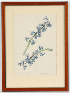 "Franz Xaver GRUBER - Zeichnung Aquarell - Franz Xaver Gruber (1801-1862) ""Hyacinthus Stellatus"""