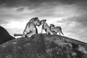 Michel GHATAN - Photography - Lioness and Cubs on Kopje (Serengeti, Tanzania)